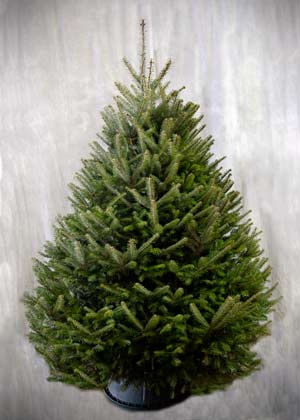 The Balsam Fir is the traditional Christmas tree, native to the North East, and is known for its strong fragrance.