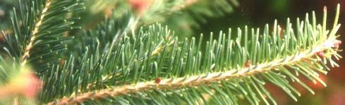 Balsam Fir Boughs
